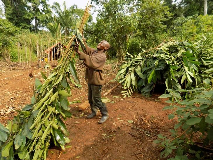 Un autochtone Pygmée construit une case en RDCongo